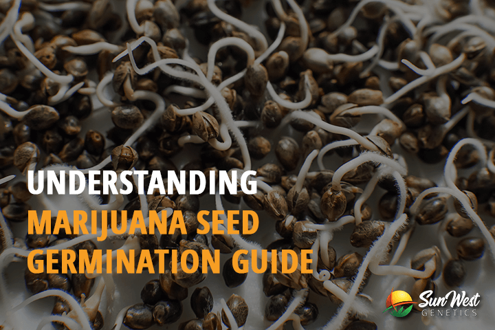 marijuana seed germination
