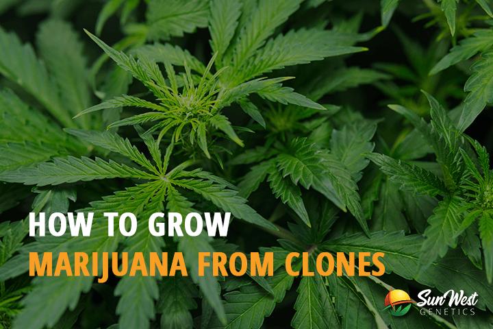 growing marijuana from clones