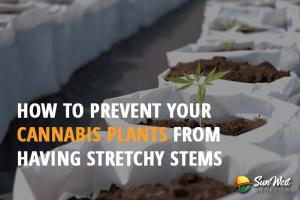 cannabis plants stretchy stems