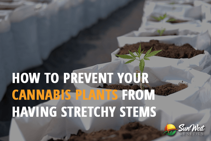cannabis plants stretchy stems