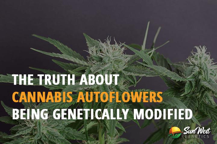 cannabis autoflowering strains