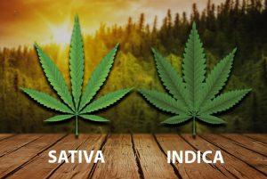 sativa vs indica strains
